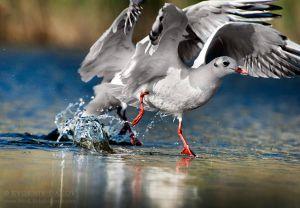 Речна чайка