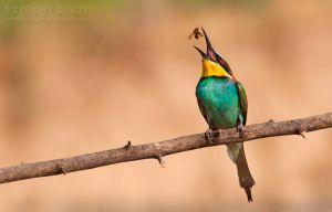 Пчелояд (bee-eater) с плячка