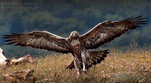 Скален орел (Сливен)