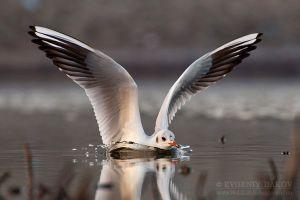 Речна чайка, яз. Пясъчник